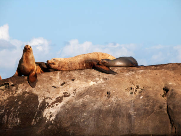 Steller Sea Lion - Relaxing in the sunshine. stock photo