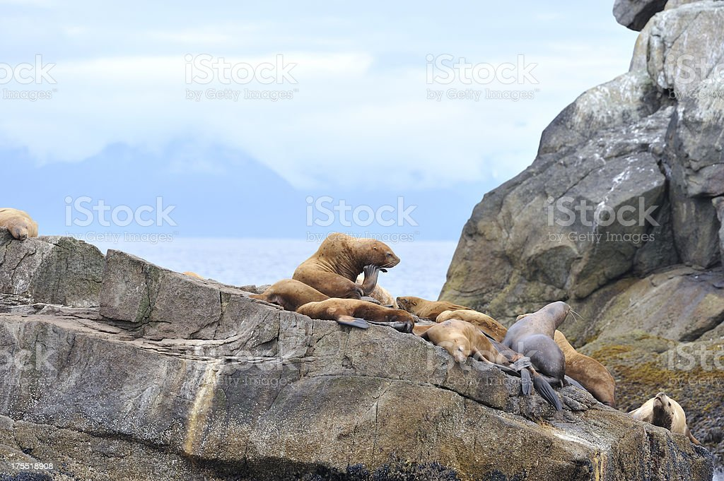 Steller Sea Lions, Alaska royalty-free stock photo