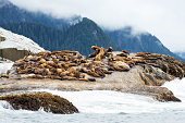 Group of wild Steller sea lions lounging on a rock along the rugged coastline just north of Sitka, Alaska.