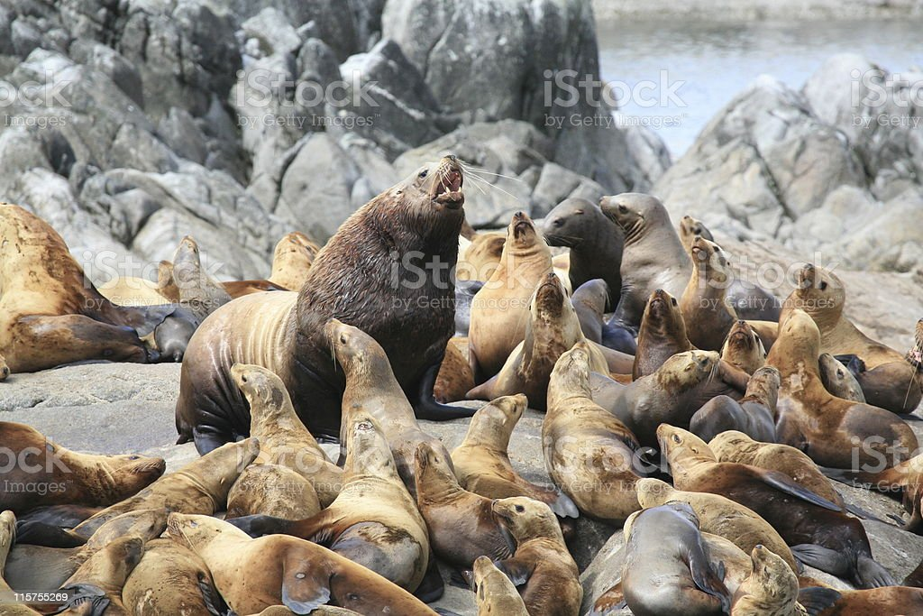 Steller Sea Lions on Cheamley Islet, Chatham Sound, B.C. stock photo
