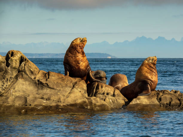 Steller Sea Lions (Eumetopias jubatus) stock photo