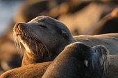 Steller Sea Lions sleeping, California, Crescent City, Winter