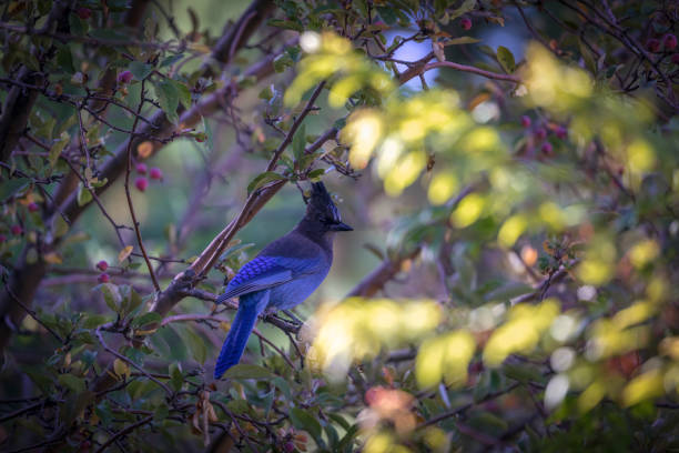 Steller's Blue Jay sitting on a branch in the leaves of a tree stock photo