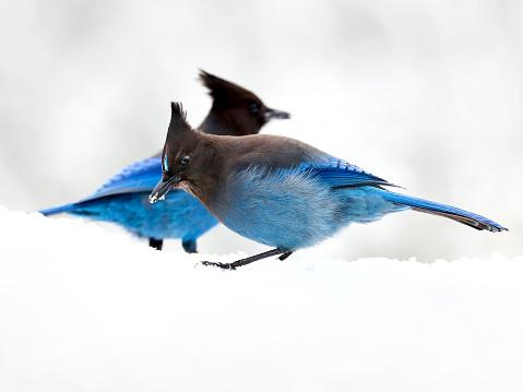 Steller's Jay (Cyanocitta stelleri) birds in a snow.