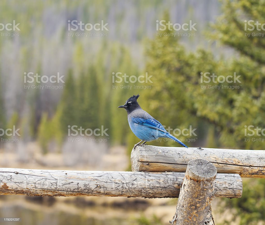 Steller's Jay In The Rocky Mountains Of Colorado stock photo