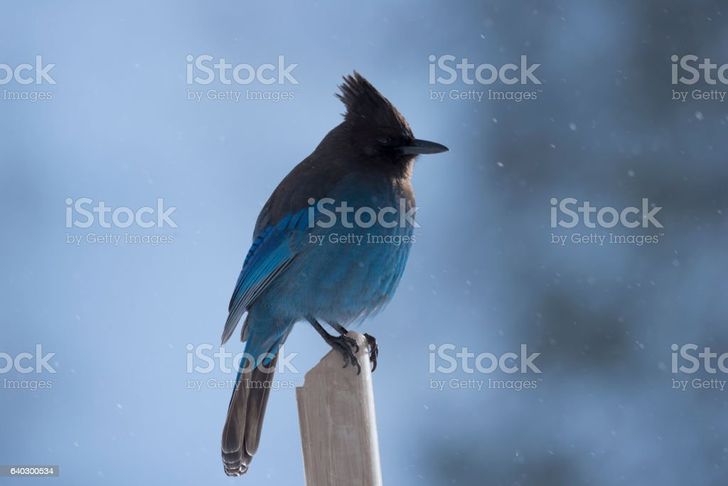 Steller's Jay in the snow A Stellar's Jay waits in the cold.   Morning light peaks through the trees while it snows. Animal Body Part Stock Photo