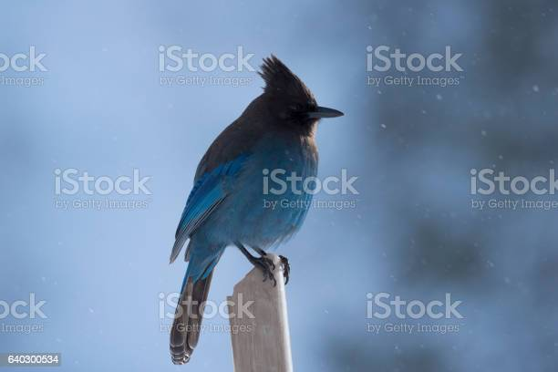 Stellers Jay In The Snow Stock Photo - Download Image Now