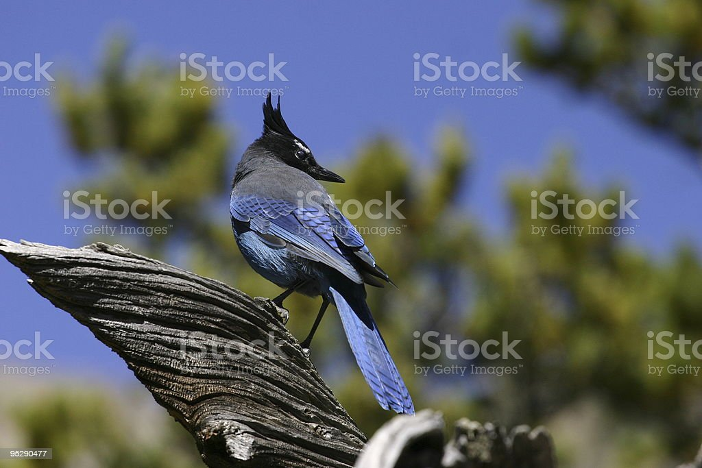 Steller's Jay (Bluejay) In Tree With Blue Sky Background stock photo