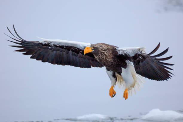 Stellers Seeadler fliegt über Eisscholle – Foto