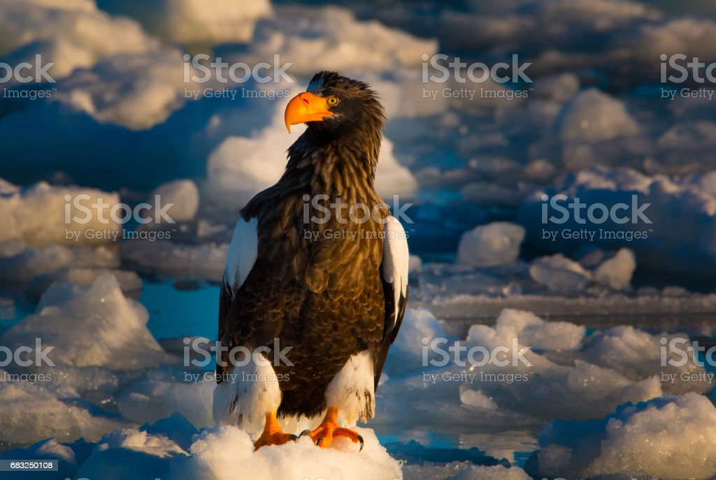 Steller's Sea Eagle royalty-free stock photo
