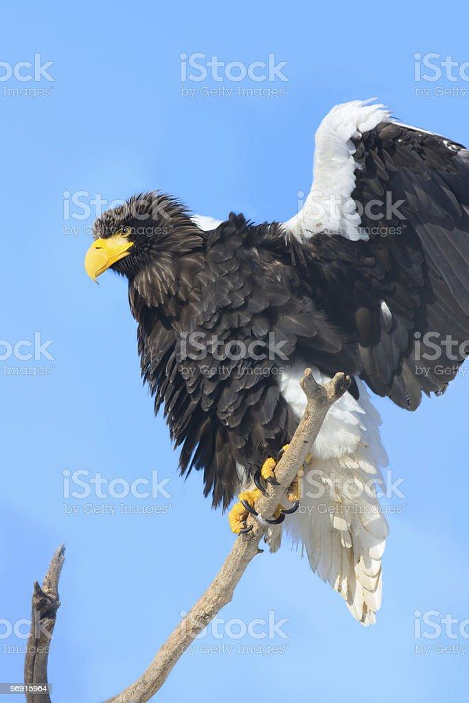 Steller's Sea Eagle (Haliaeetus pelagicus) royalty-free stock photo