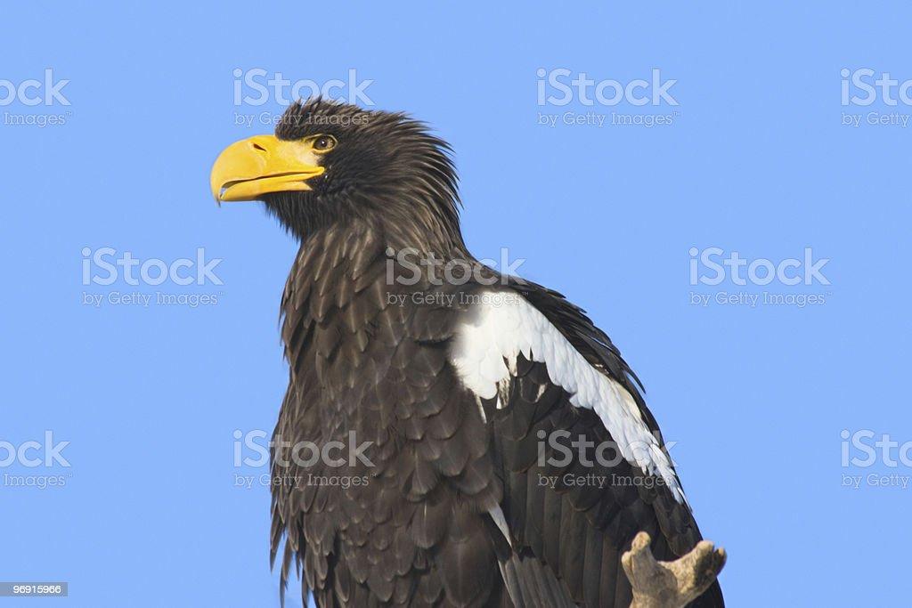 Steller's Sea Eagle royalty-free stock photo