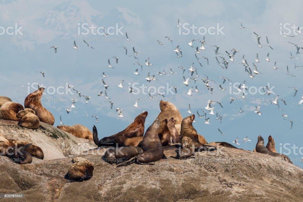 Leões de mar de Steller relaxante - foto de acervo