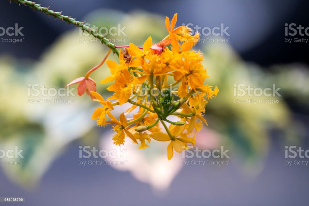 Stem and Orange Epidendrum Orchid Flower on Bokeh Background stock photo