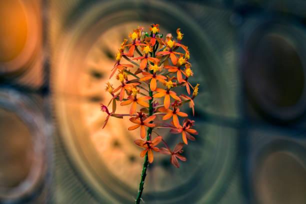 Stiel und Orange Epidendrum Orchidee Blume auf Bokeh Hintergrund – Foto