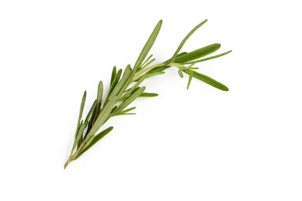 Stem of fresh rosemary on a white background stock photo