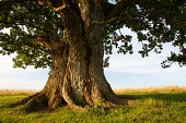 Stem of grand oak in Urvaste, Estonia