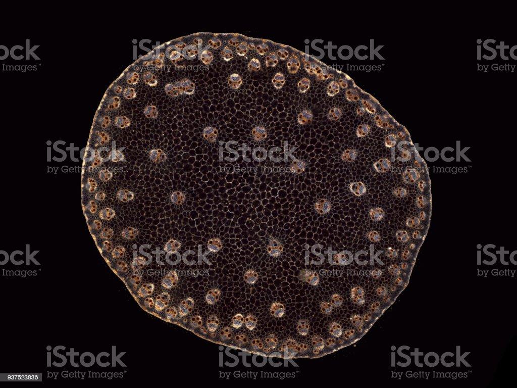 Stem of Zea mays - microscopic cross section cut of a plant stem - dark field stock photo