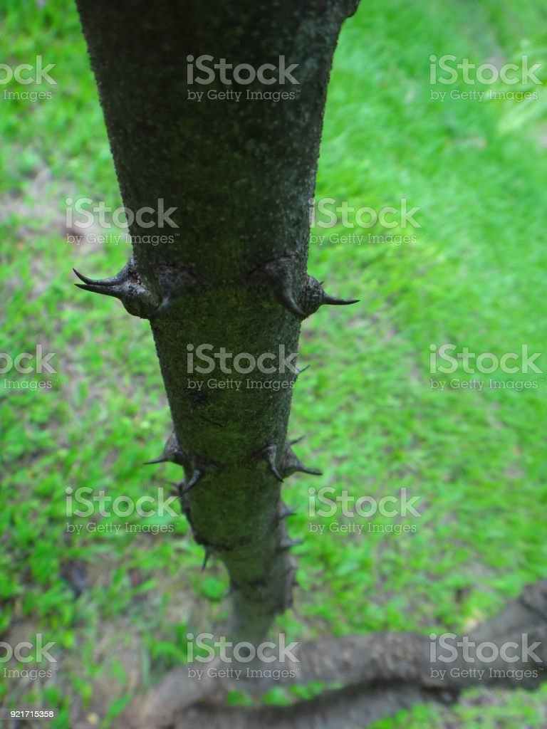 Stem or trunk of sappanwood stock photo