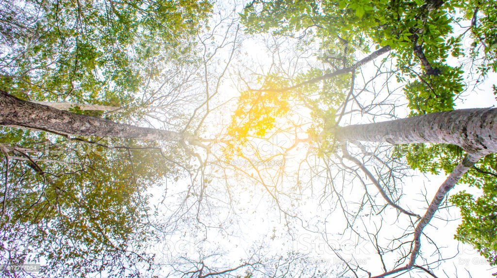 Stem tree and leaf tree on rise up view is beautiful of light pass tree stock photo