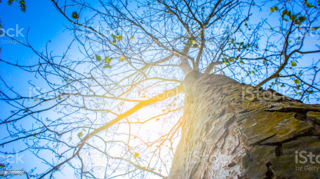 Stem tree on rise up view on sky blue is beauty stock photo