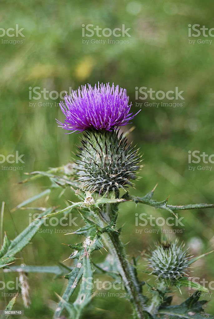 Stemless Thistle (Cirsium acaule) royalty-free stock photo