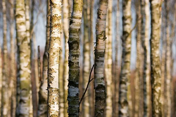 Stems von Birken. – Foto