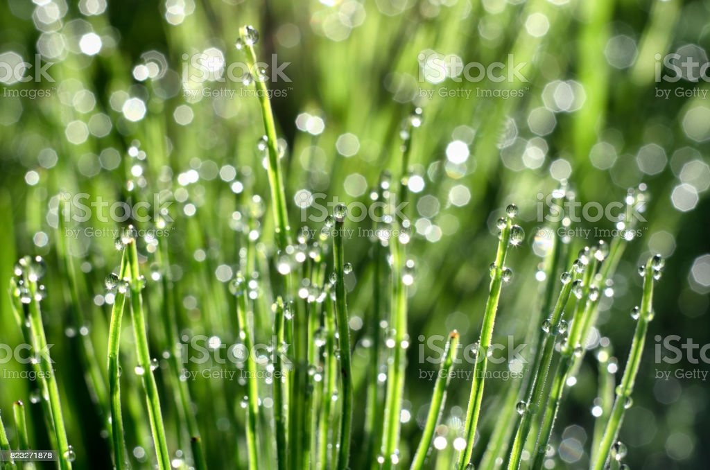 Stems of horsetail with dew drops and bokeh stock photo