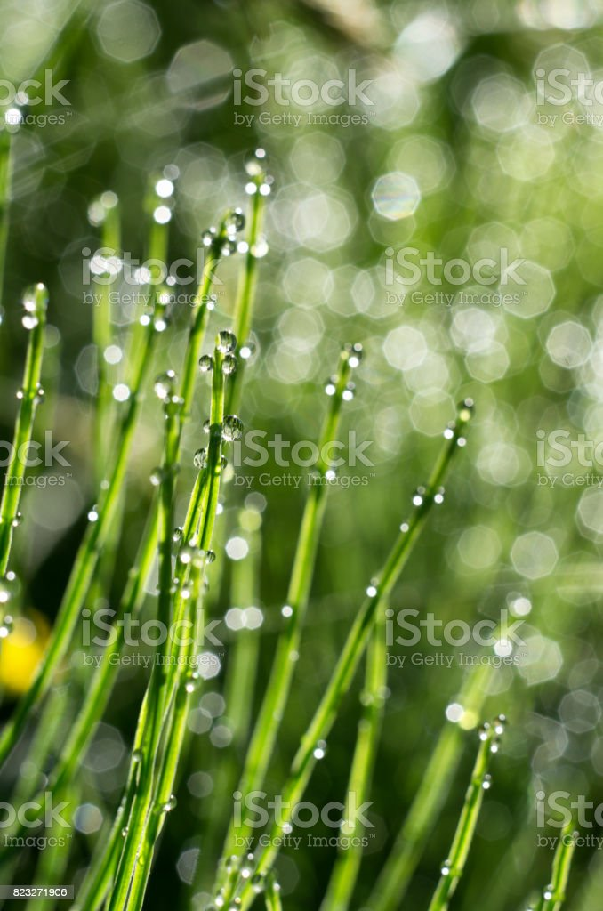 Stems of horsetail with dew drops stock photo