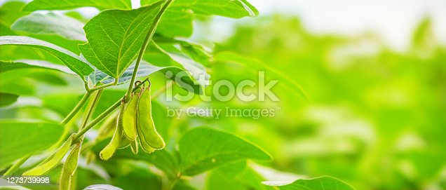 istock Stems of young green soybean plants in the period of active growth with immature pods against the background of a soybean field in the rays of the summer sun. 1273739998