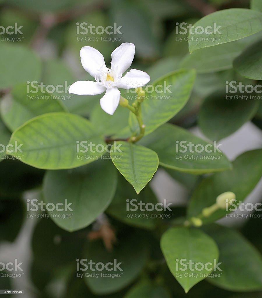 stephan otis flower in garden stock photo