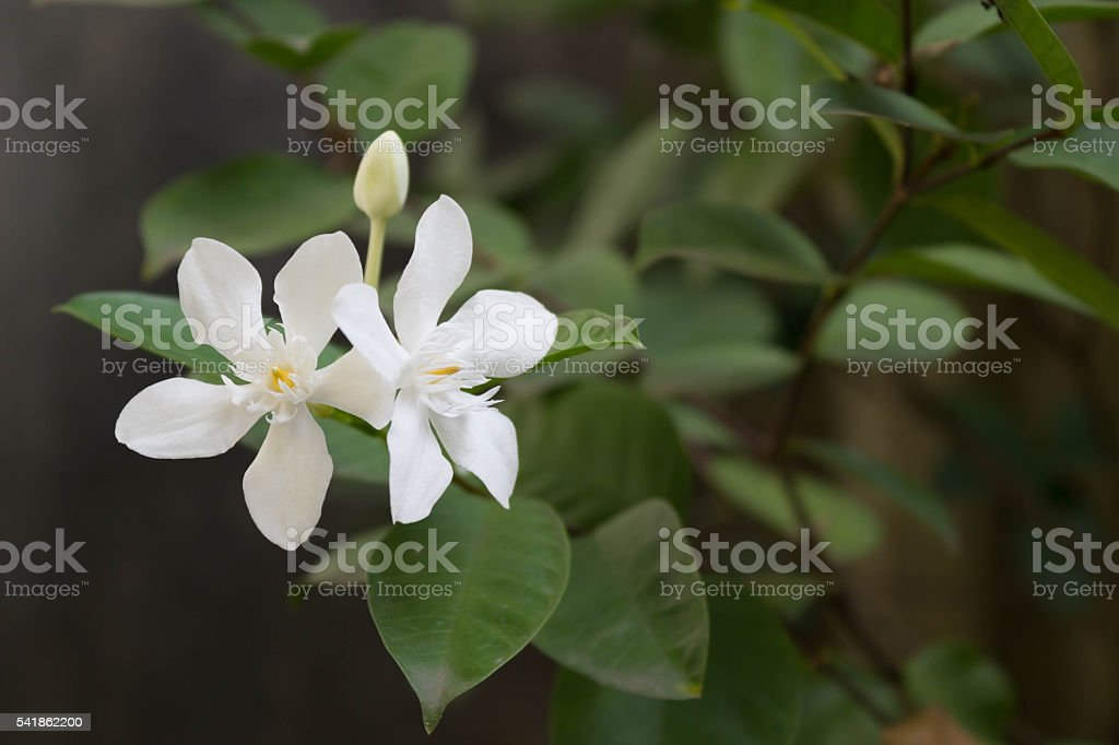 stephan otis flower stock photo