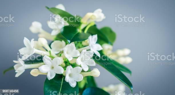 Stephanotis floribunda madagascar jasmine picture id958746456?b=1&k=6&m=958746456&s=612x612&h=zig4qeyr7uze9t3oudmu1x9xhijfuyek tdgmdsme54=
