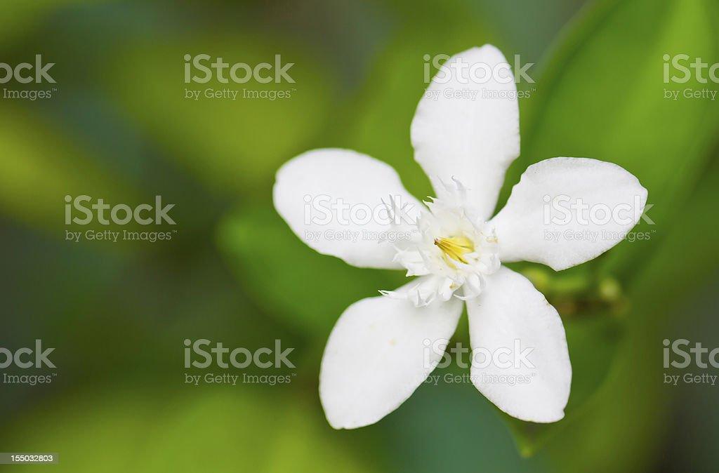 stephanotis flower stock photo