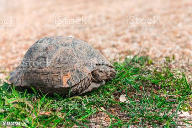 Steppe asian turtle picture id916895736?b=1&k=6&m=916895736&s=612x612&h=hiaolkxpd5qxrw9kpehxxlpi903auta5oerode0lzou=