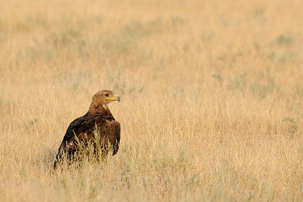 Steppe eagle in hot steppe Steppe eagle (Aquila nipalensis) in steppe. Kalmykia, Russia steppe stock pictures, royalty-free photos & images