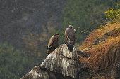 istock Steppe Eagle 1266597525