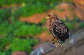istock Steppe Eagle 1266598127