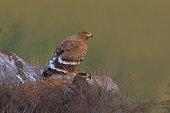 istock Steppe Eagle 1266598247