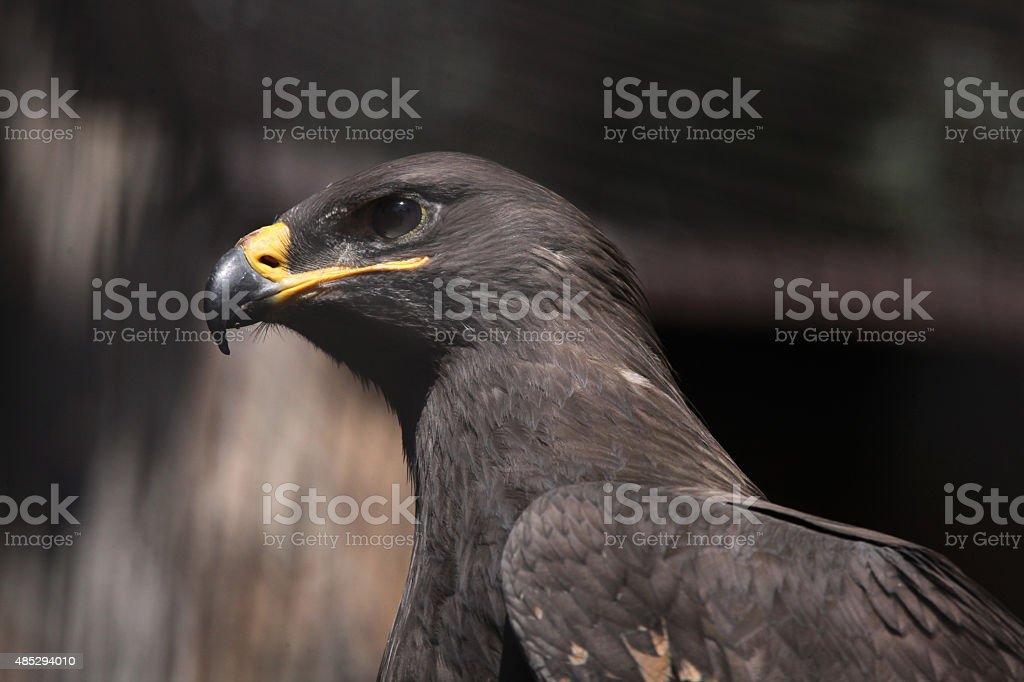 Steppe eagle (Aquila nipalensis). stock photo