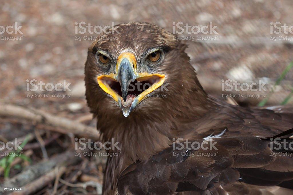 Steppenadler (Aquila Nipalensis). Lizenzfreies stock-foto