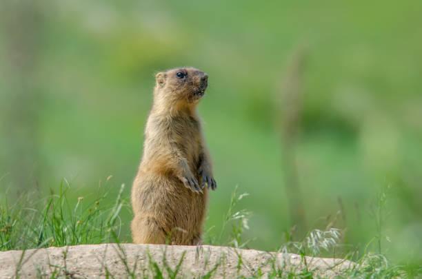 marmota de estepa - groundhog day fotografías e imágenes de stock