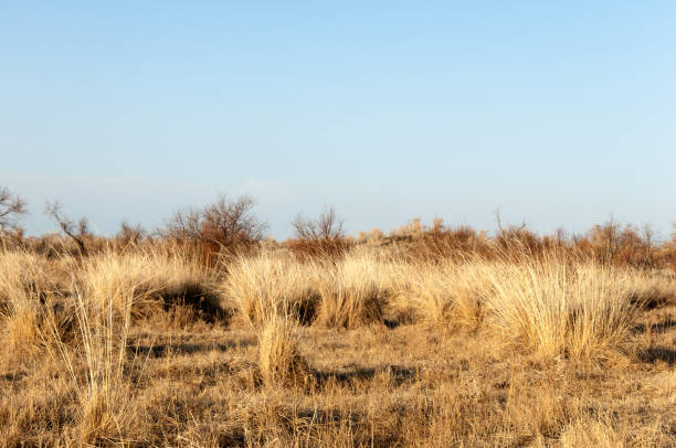 steppe spring steppe. the nature wakes up after winter. last year's grass with trees in the desert steppe stock pictures, royalty-free photos & images