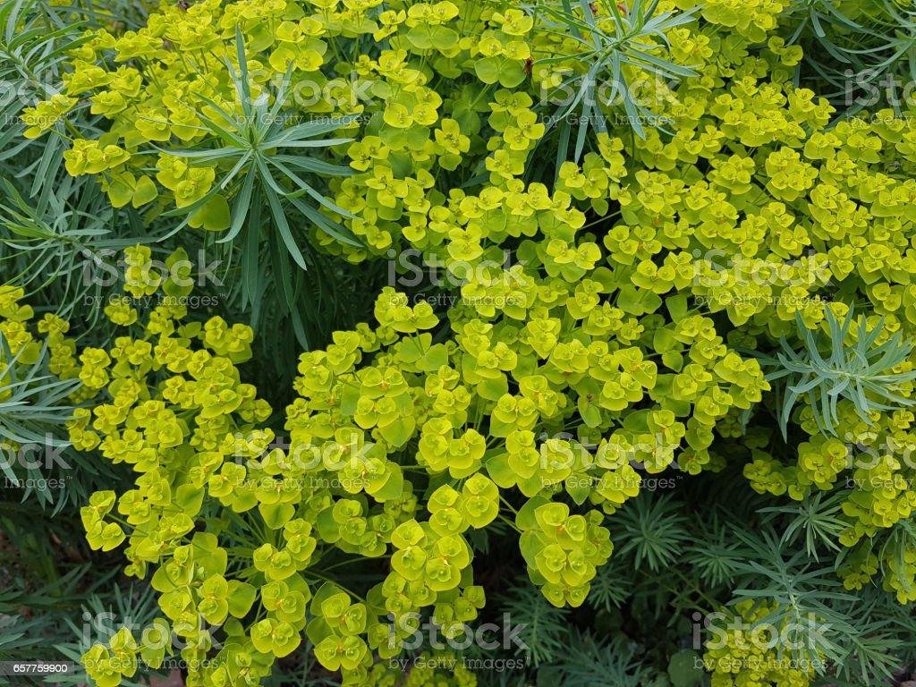 Steppes Spurge Euphorbia Seguieriana Stock Photo Download Image