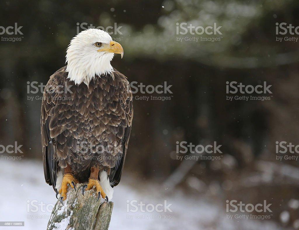 Stern Bald Eagle stock photo