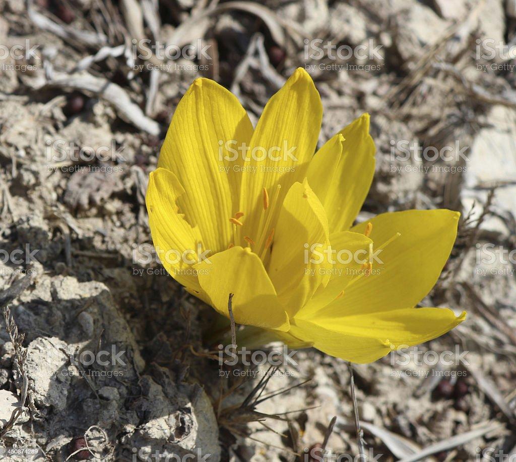 Sternbergia Autumn Crocus Wildflower stock photo