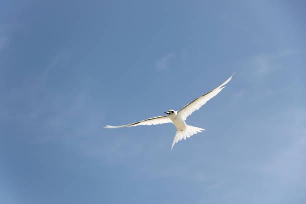 sterne en vol - uccello marino foto e immagini stock