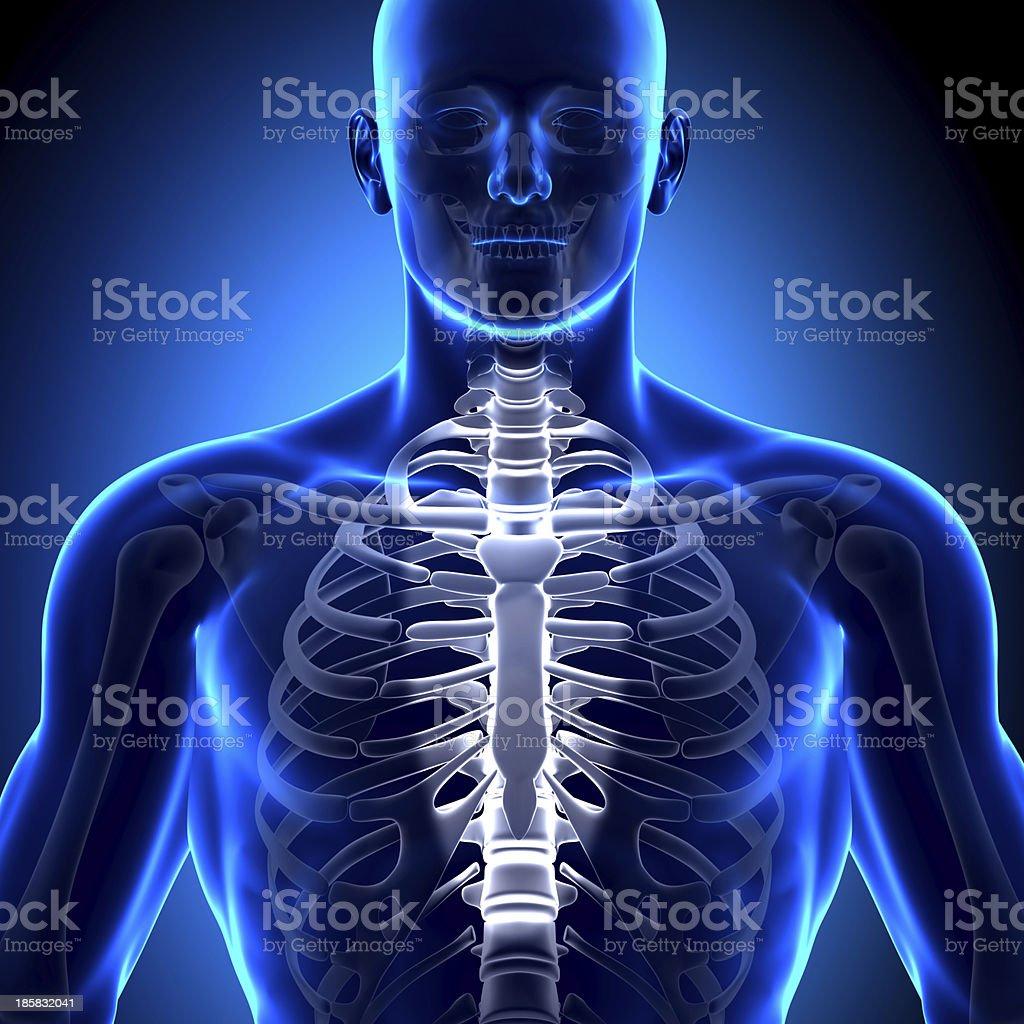 Sternum Anatomy Bones Stock Photo More Pictures Of Adult Istock