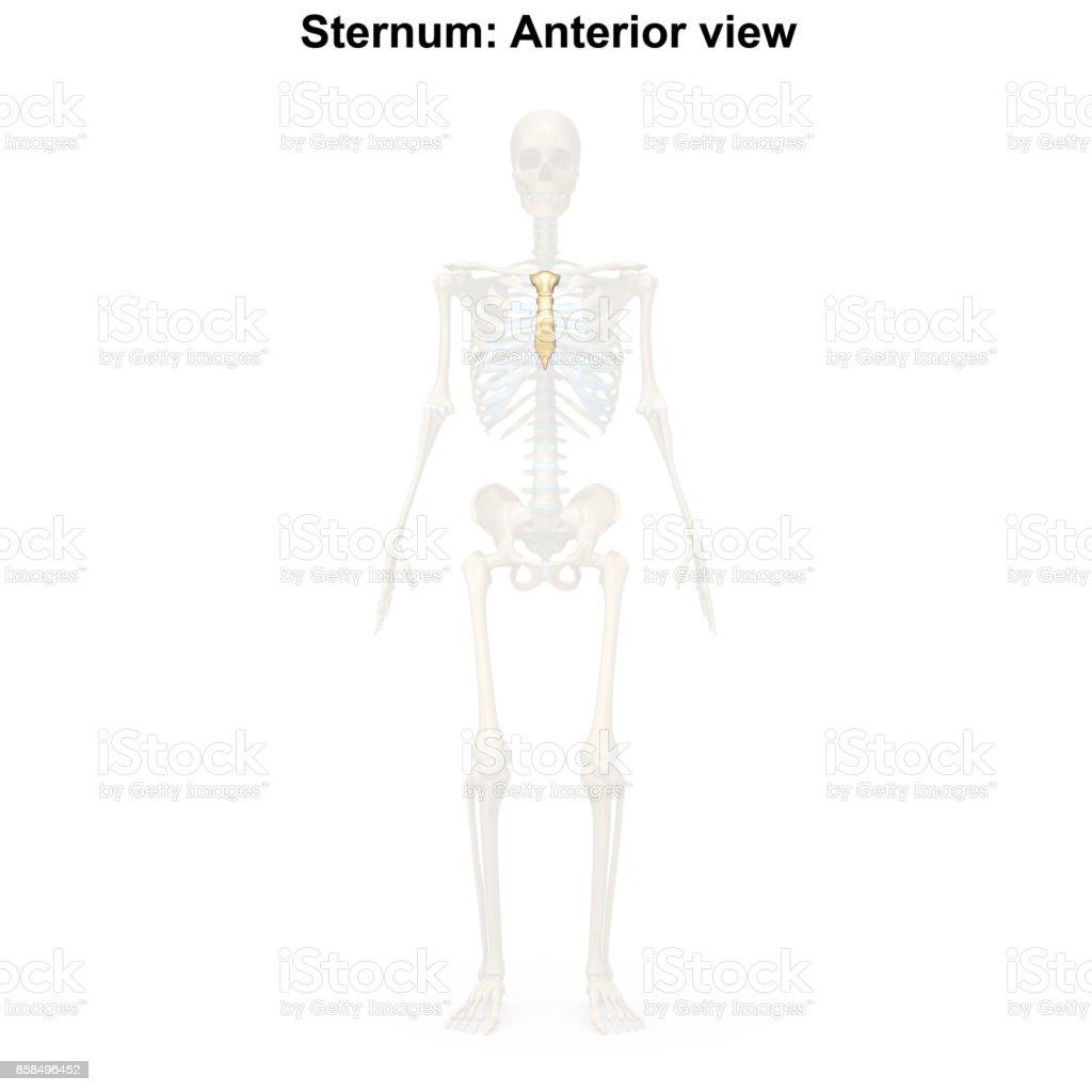 Sternum stock photo