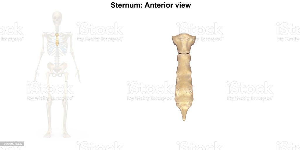 Sternum_Anterior view stock photo